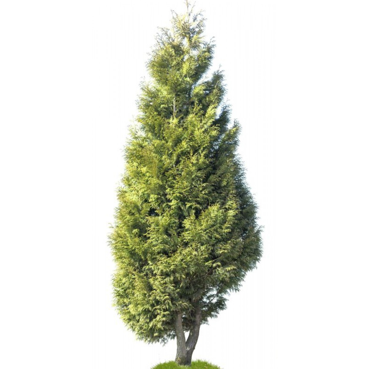 Western red cedar bowhayes trees store