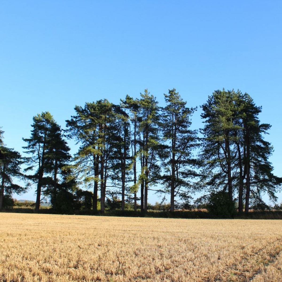 Scots pine bowhayes trees store for Mature pine trees