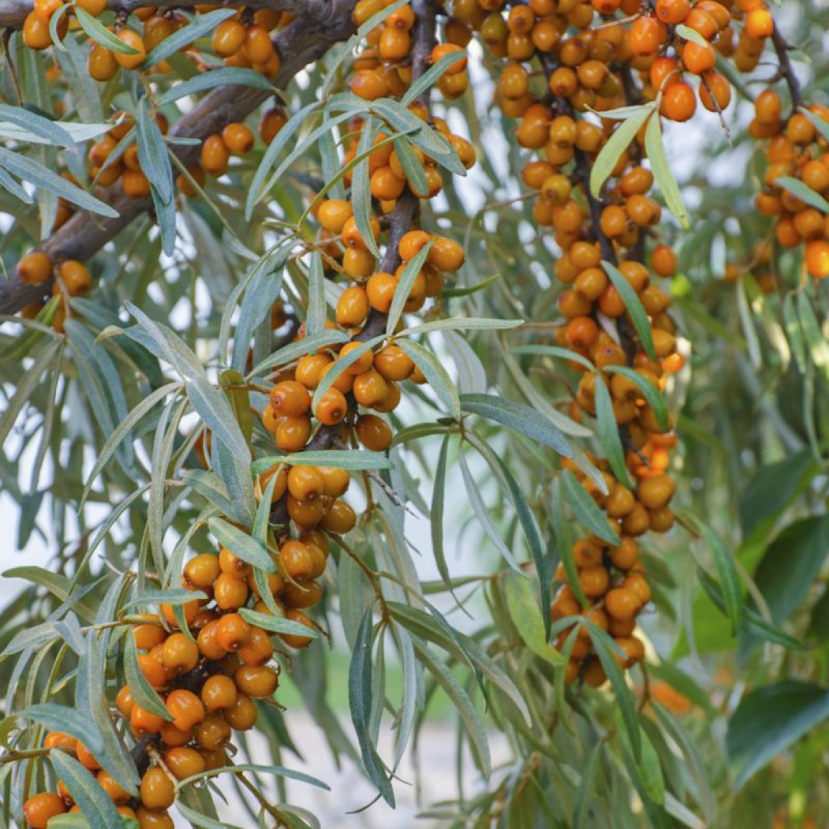 Sea buckthorn bowhayes trees store - Growing sea buckthorn ...