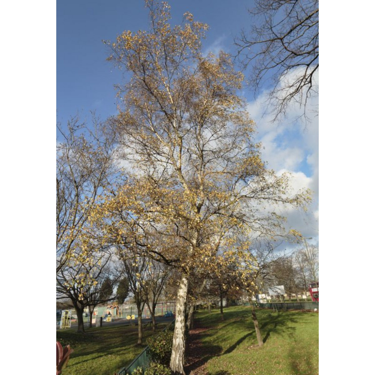 how to draw silver birch trees
