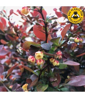 Berberis Orange Rocket