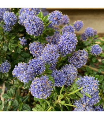 Californian Lilac Blue Mound