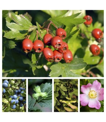 Mixed Hawthorn Hedging - Blackthorn, Hazel, Field Maple, Dog Rose