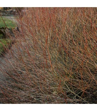 Coloured Willow