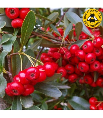 Pyracantha coccinea 'Red Star' - 3L