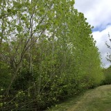 Mature poplar screen
