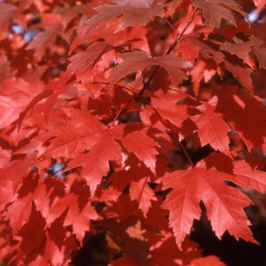 Acer x freemanii 'Autumn Blaze'