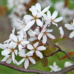 Smooth Serviceberry 'Snowflakes'