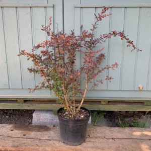 Berberis thunbergii purpurea