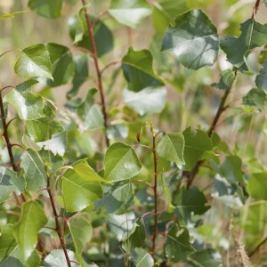 Foliage - Black Poplar