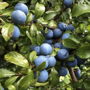 Sloe fruit on a Blackthorn hedge