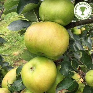 Apple Tree - Bramley 20