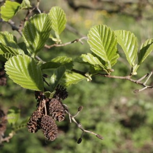 Foliage and female flowers of the Common  Alder