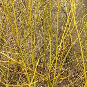 Yellow Dogwood