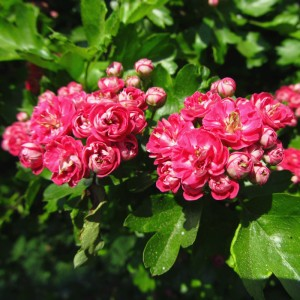Crimson Hawthorn Tree