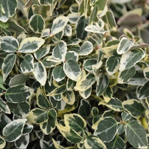 Euonymus Emerald Gaiety Hedging