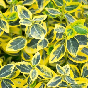 Euonymus Emerald 'n' Gold Hedging