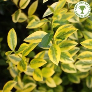 Golden Privet foliage
