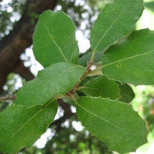 Holm Oak Leaves
