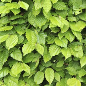 Vibrant Hornbeam Leaves in Spring