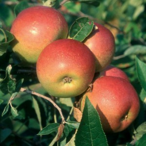 Apple Tree - Laxton's Superb