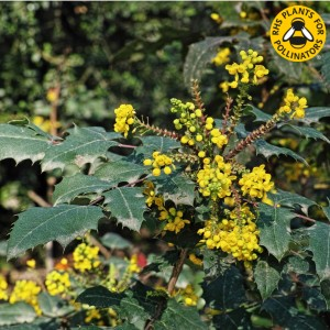 Mahonia x media 'Charity' flowers