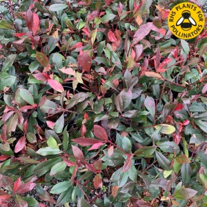 Photinia Carre Rouge
