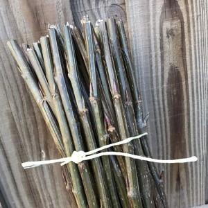 Bundle of 25 poplar cuttings