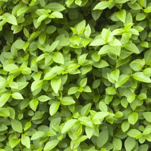Privet Leaves