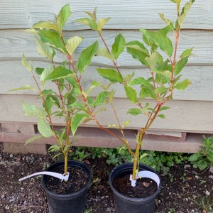 Red Dogwood 3L