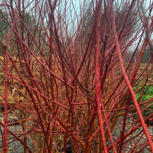 Scarlet Willow Stem Colour