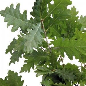 Sessile Oak Leaves