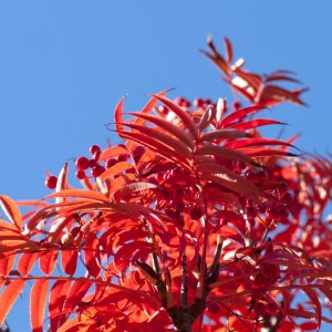 Sorbus 'Olympic Flame'