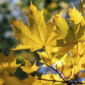 Sycamore leaf in autumn