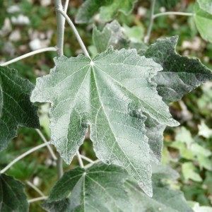 White Poplar leaf