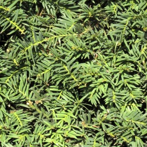 Yew branches