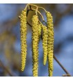 Catkins - male flowers of the Common Alder