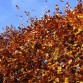 Beech hedge in autumn
