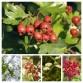 Mixed Hawthorn Hedging - Wild Cherry, Crab Apple , Dogwood, Guelder Rose