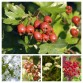 Hawthorn Hedge Mix