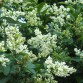 White flowers on privet hedge