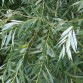 White willow leaves
