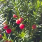 Berries on a Yew hedge