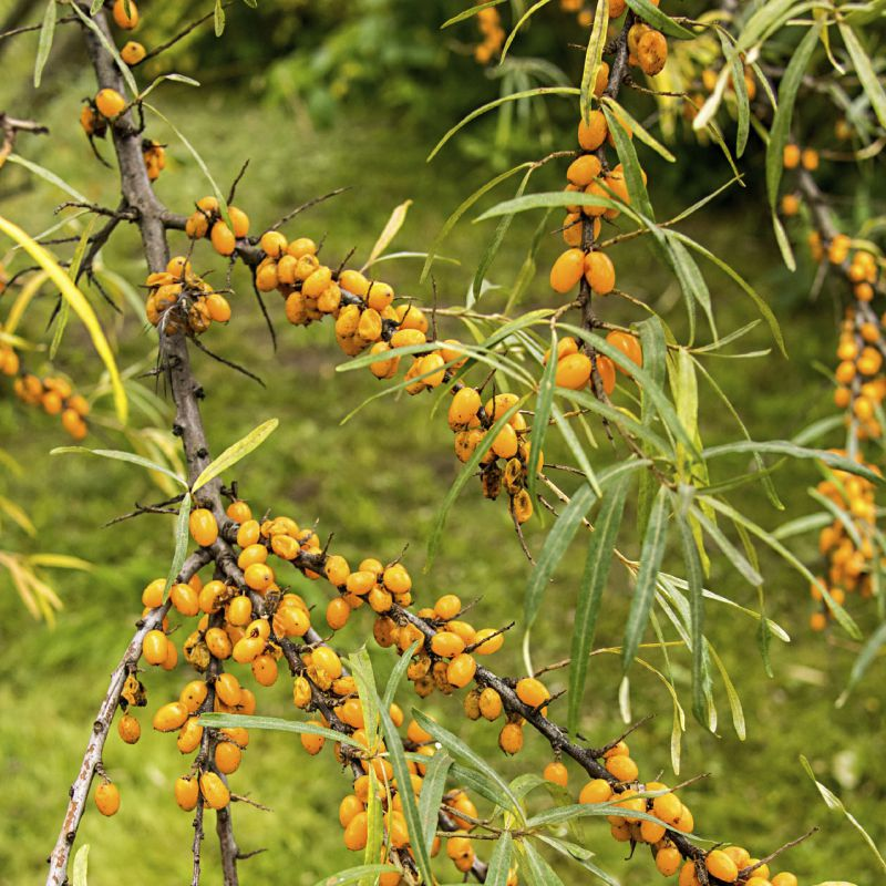 Sea Buckthorn Bowhayes Trees Store