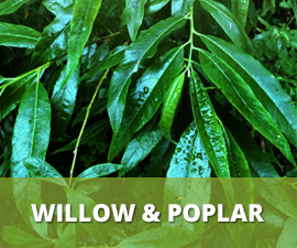 Willow & Poplar