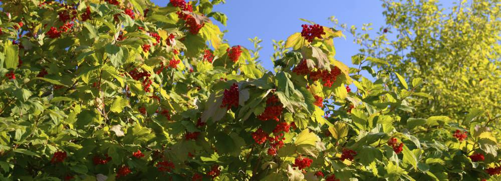 Guelder Rose Flowering Hedge