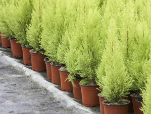 Potted Conifers