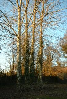 15 year old Poplar Trees